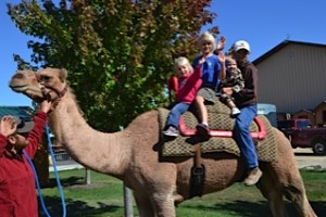 Ride the Camels. Fun for the whole family!